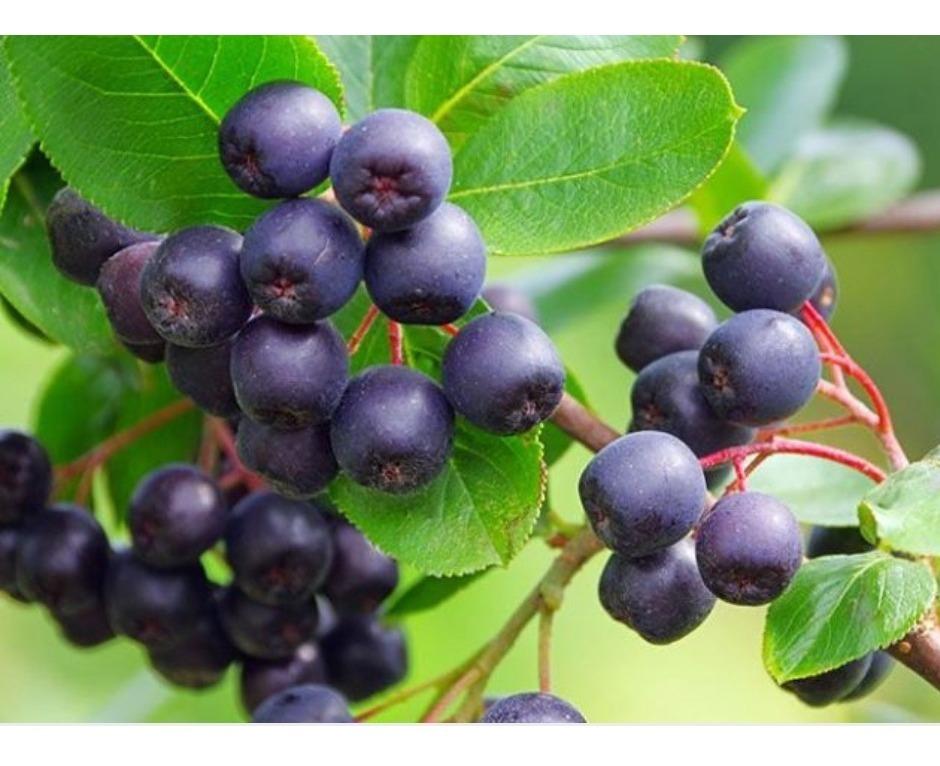 Plantas De Maqui Berry Mayor Antioxidante Del Mundo 450 00