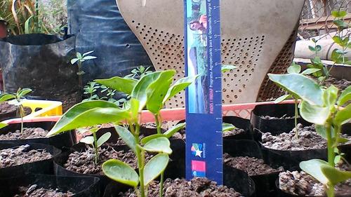 plantas de marcuyas orgánicas !! passiflora amarillo grandes