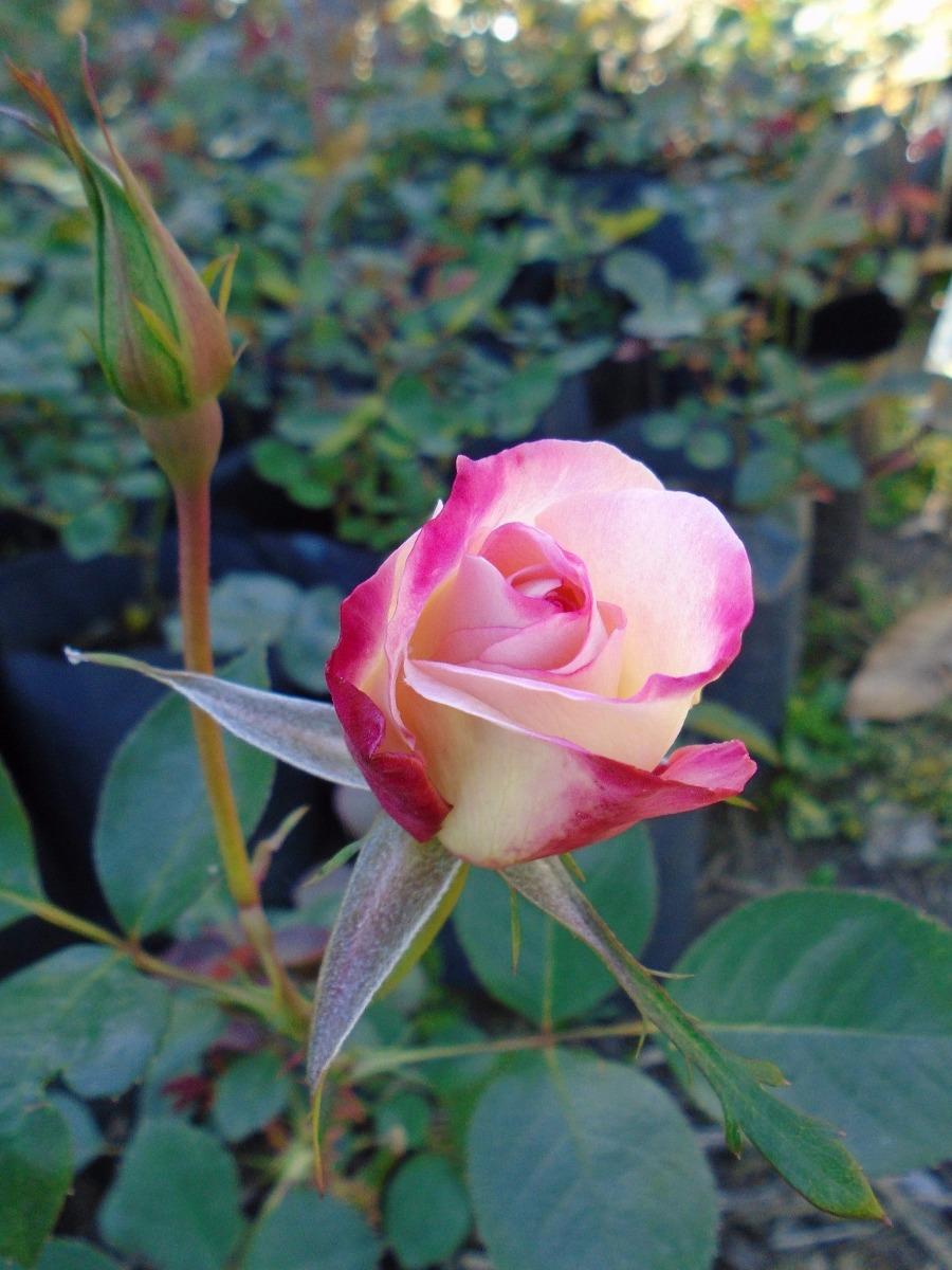 Plantas De Rosas Rosales Varios Colores Junín La Plata 20000