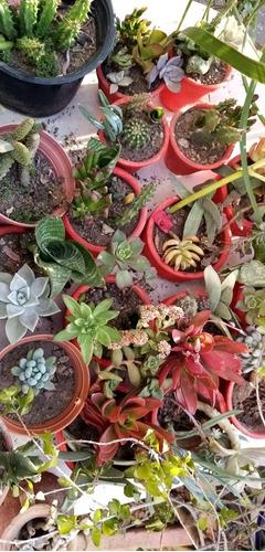 plantas de suculentas como recuerdo 20 piezas x $500