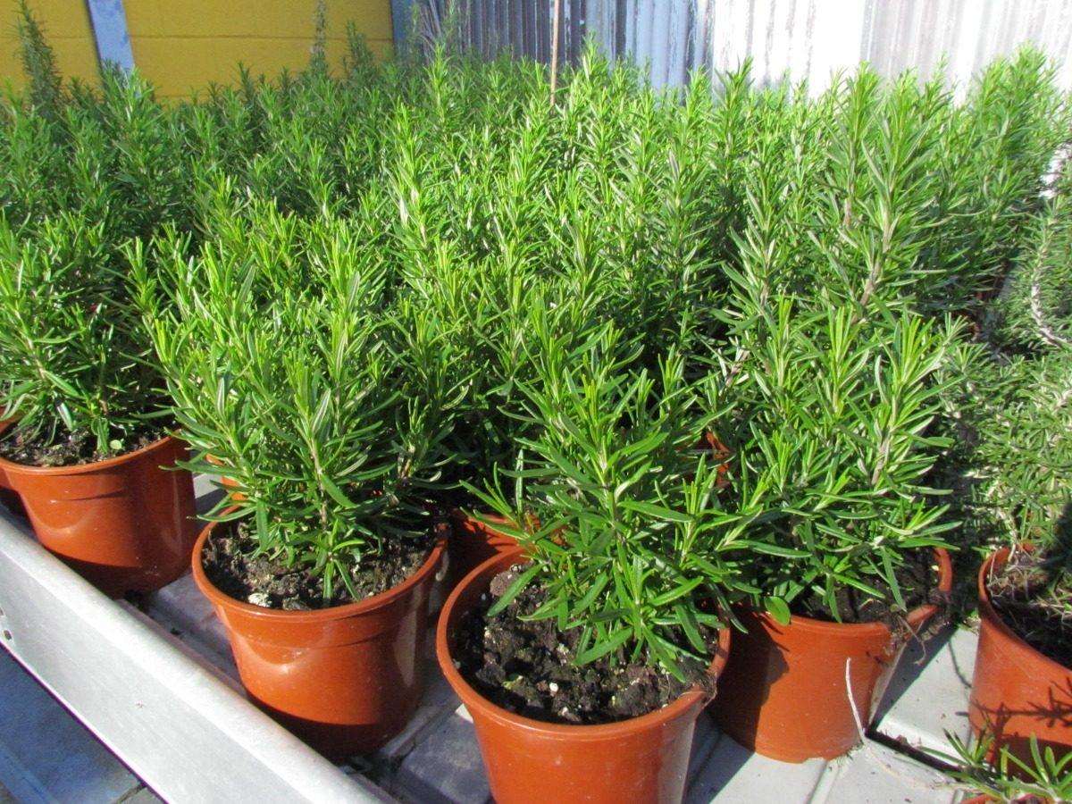 plantas de vivero de 1m altura plantas de vivero