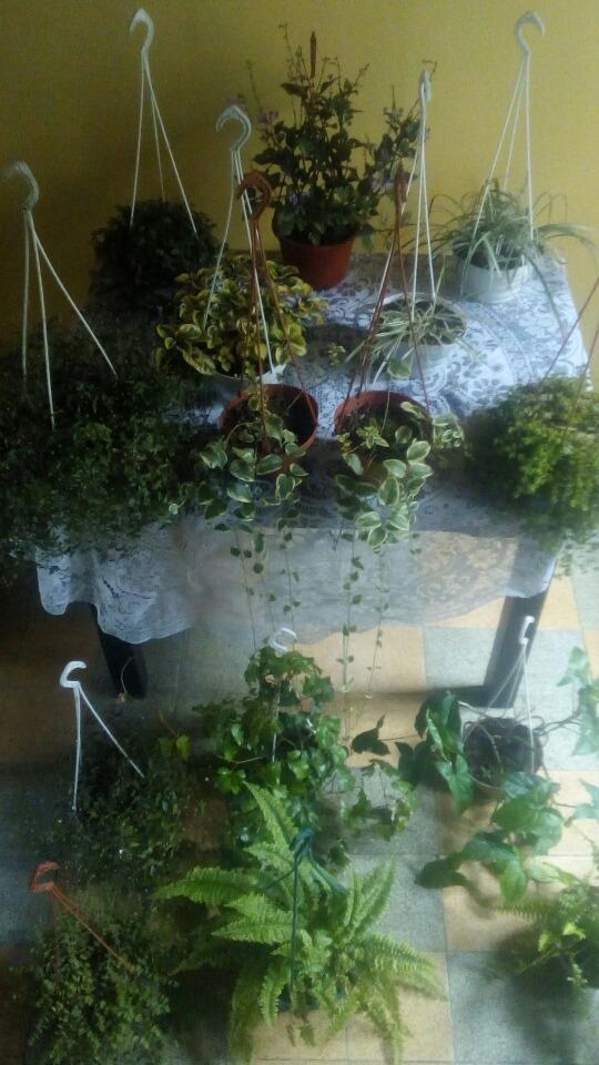 plantas en colgantes de interior y exterior de buen follaje cargando zoom - Plantas Colgantes De Interior