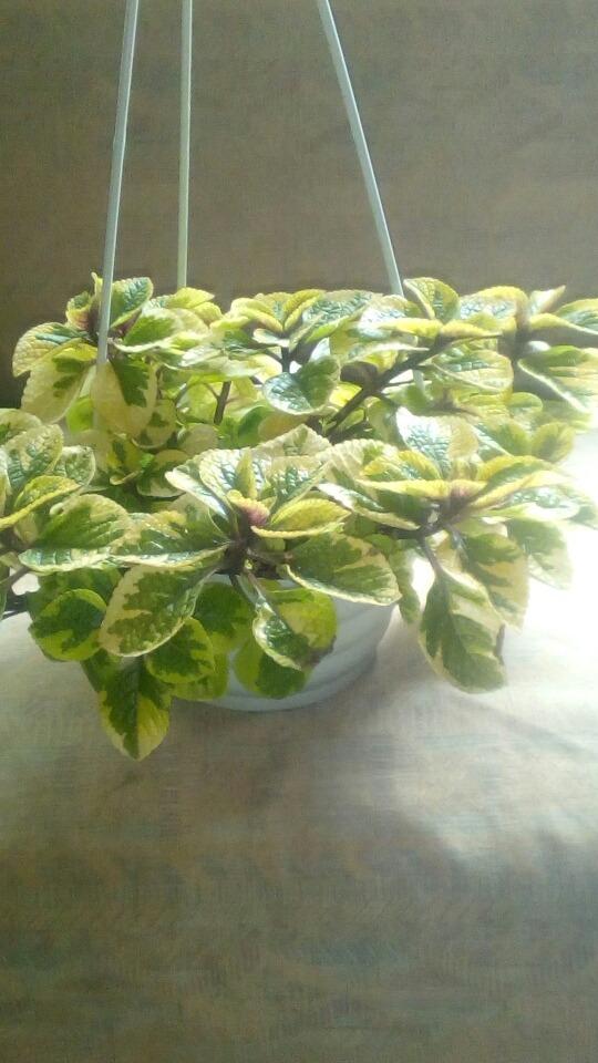 plantas en colgantes de interior y exterior de buen follaje cargando zoom - Plantas Colgantes Exterior