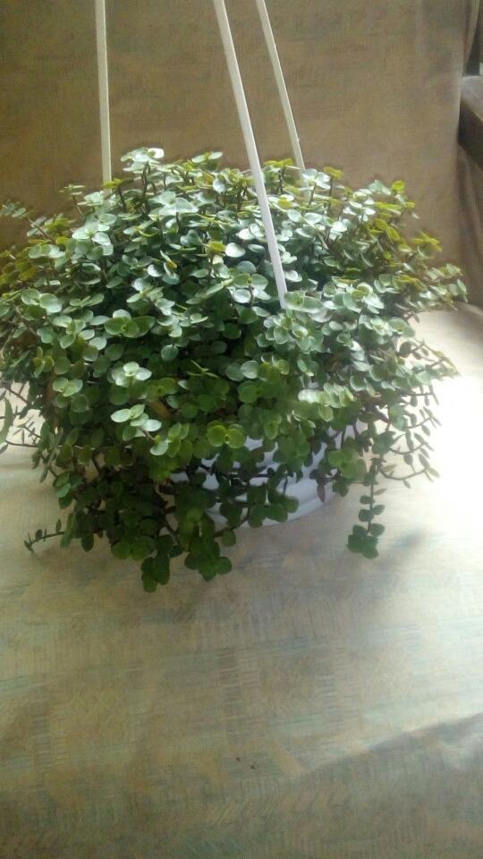 Plantas en colgantes de interior y exterior de buen for Plantas para interior y exterior