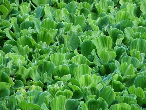 Plantas flotantes para estanques precio por dos porciones for Plantas para estanques