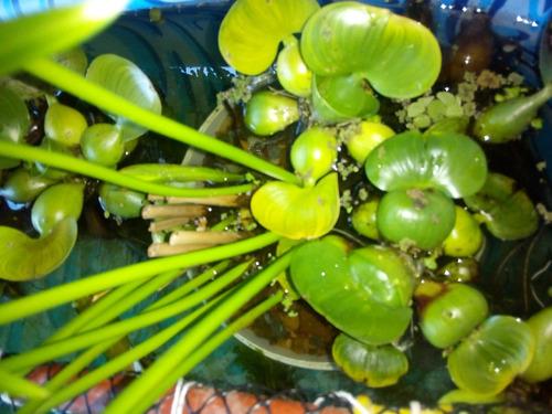 plantas flotantes pecera o estanque