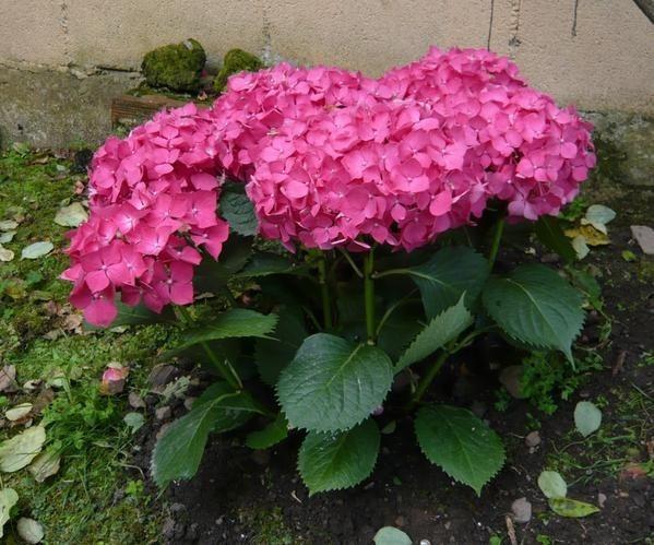 Plantas hortensias flor fuscia ideal exterior jardin casas 190 00 en mercado libre - Plantas de jardin exterior ...