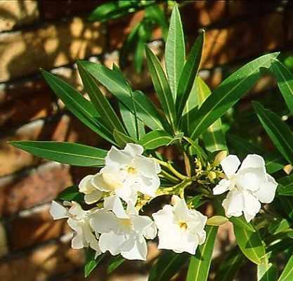 plantas laurel jardín