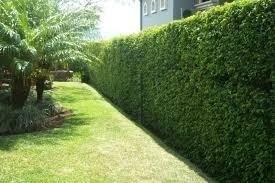 Plantas limoncillo swinglea para cerca viva jardineria - Lista nombre arbustos ...