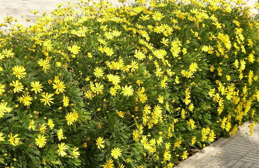 plantas margaritas flor amarillas 115 00 en mercado libre