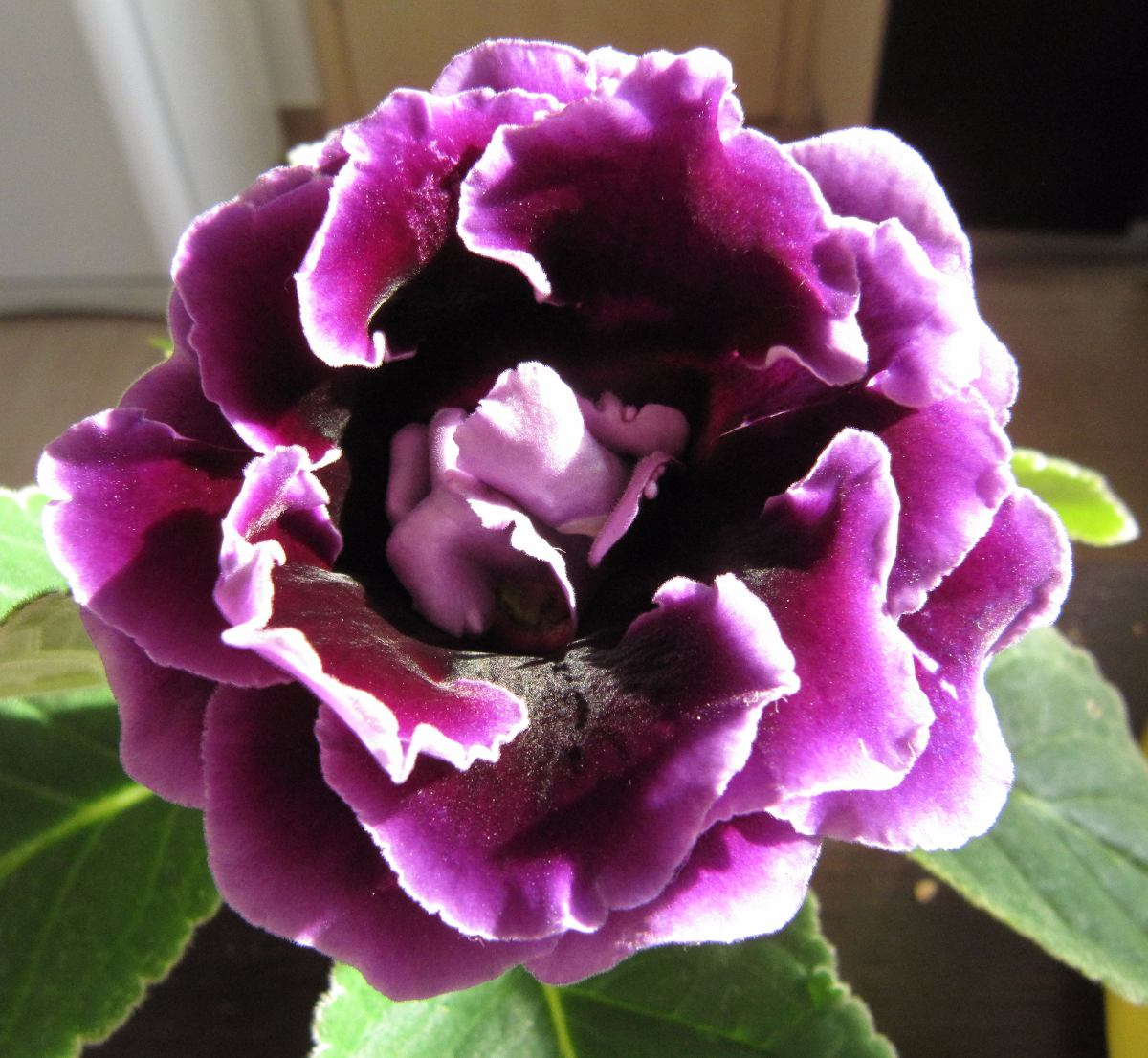 Plantas naturales gloxinia gloxinias planta ornamental for Planta ornamental garbancillo