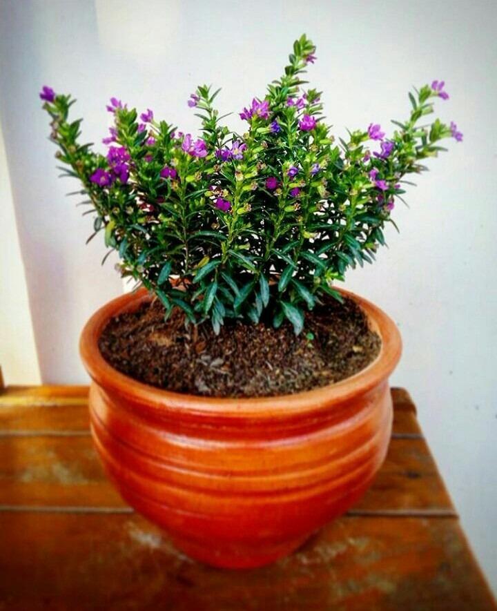 Plantas ornamentales de interior en macetas s 25 00 en mercado libre - Macetas para plantas de interior ...