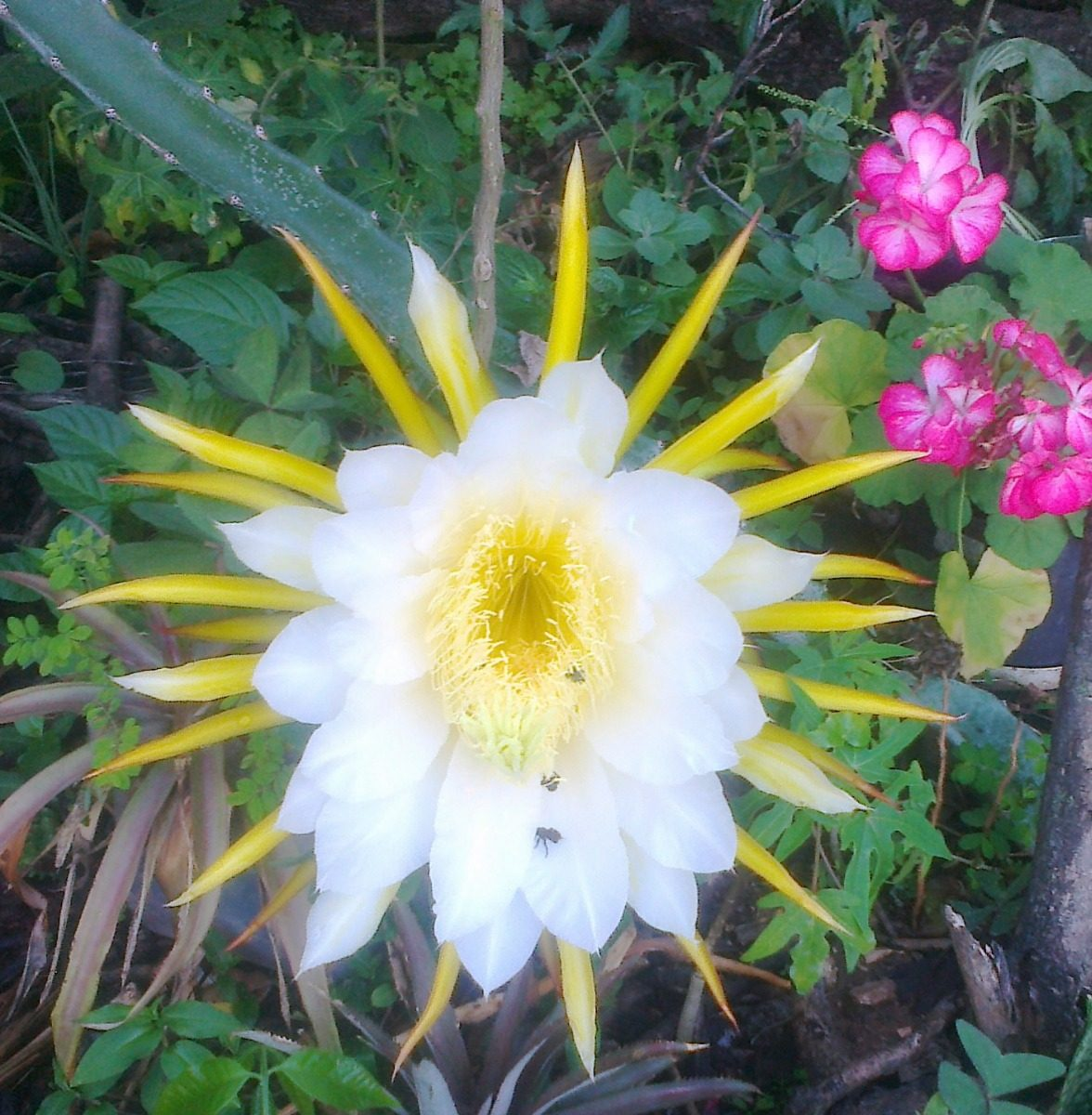 Plantas ornamentales frutales pitahaya en for 10 plantas ornamentales