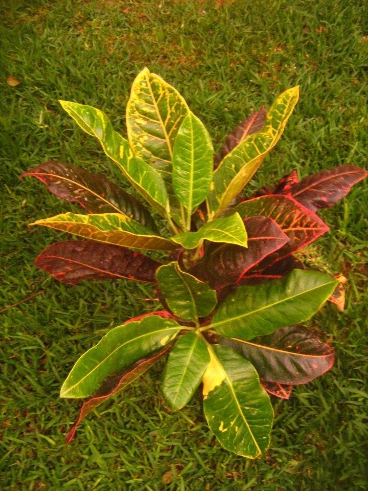 Plantas ornamentales jardines exterior e interior s 35 for Plantas decorativas ornamentales