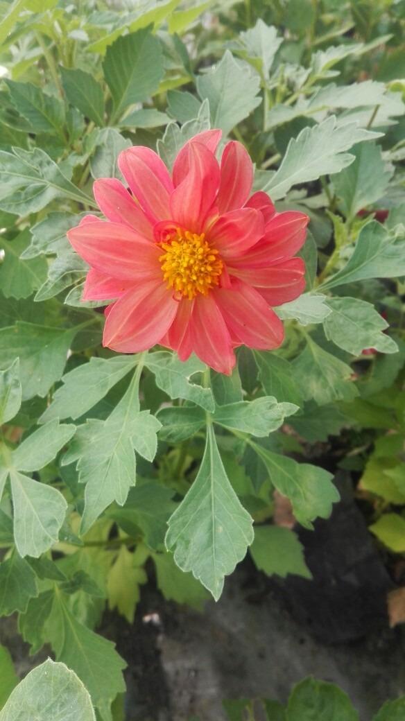 Plantas ornamentales y de temporada quillota 350 en for Algunas plantas ornamentales