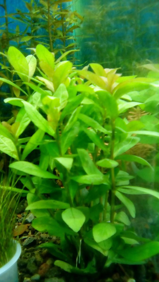 Plantas para acuario hygrophila polisperma en for Plantas de acuario