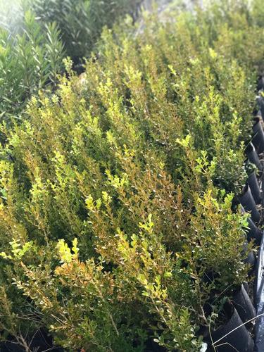 plantas para cerco buxus 60cm entrega domicilio 5lt envios