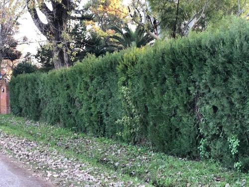 plantas para cerco vivo pinos leylandi siempre verde oleo
