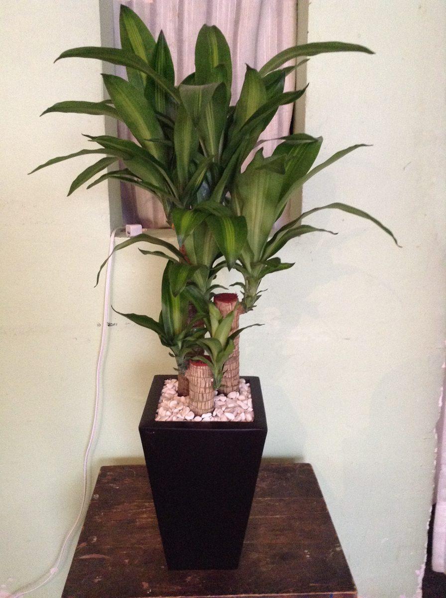 Plantas para interior y exterior 1 en mercado for Plantas ornamentales para interiores