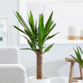 Plantas Para Oficina Yuca Interior Bares Locales Comerciales