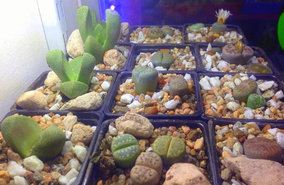Plantas Piedra Lithops Cactus Piedra Moron Julypets 29000 en