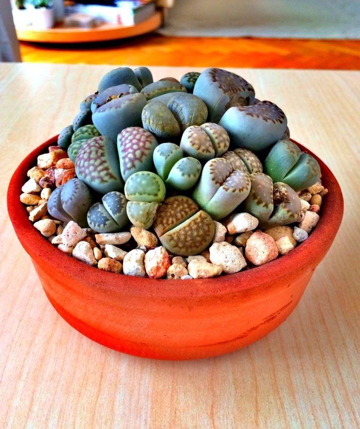 Plantas Raras Lithops Cactus Piedra Piedras Vivientesavl 85