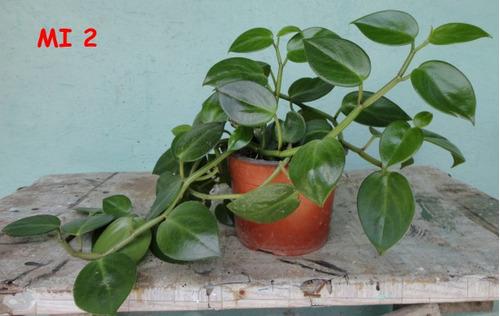 plantas semi-sombra 3