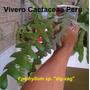 Cactus - Epiphyllum Sp. Zig Zag