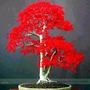 20 Semillas De Arce Rojo Estilo Bonsai