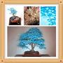 Semillas De Árboles Bonsai Maple(10 Unid)