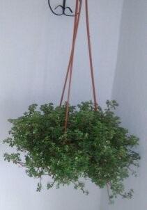 plantas suculentas colgantes en maceta - Plantas Colgantes