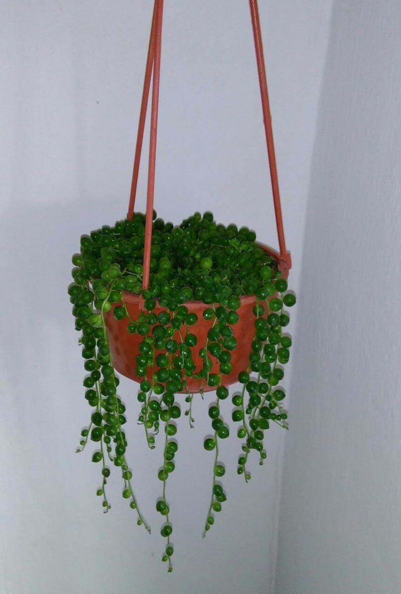 Plantas suculentas colgantes en maceta 280 00 en - Plantas suculentas colgantes ...