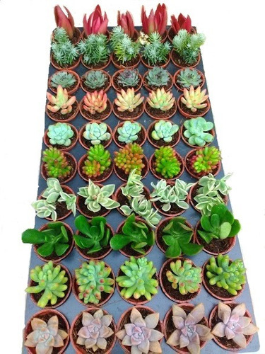 plantas suculentas mini para recuerditos 5cms diámetro