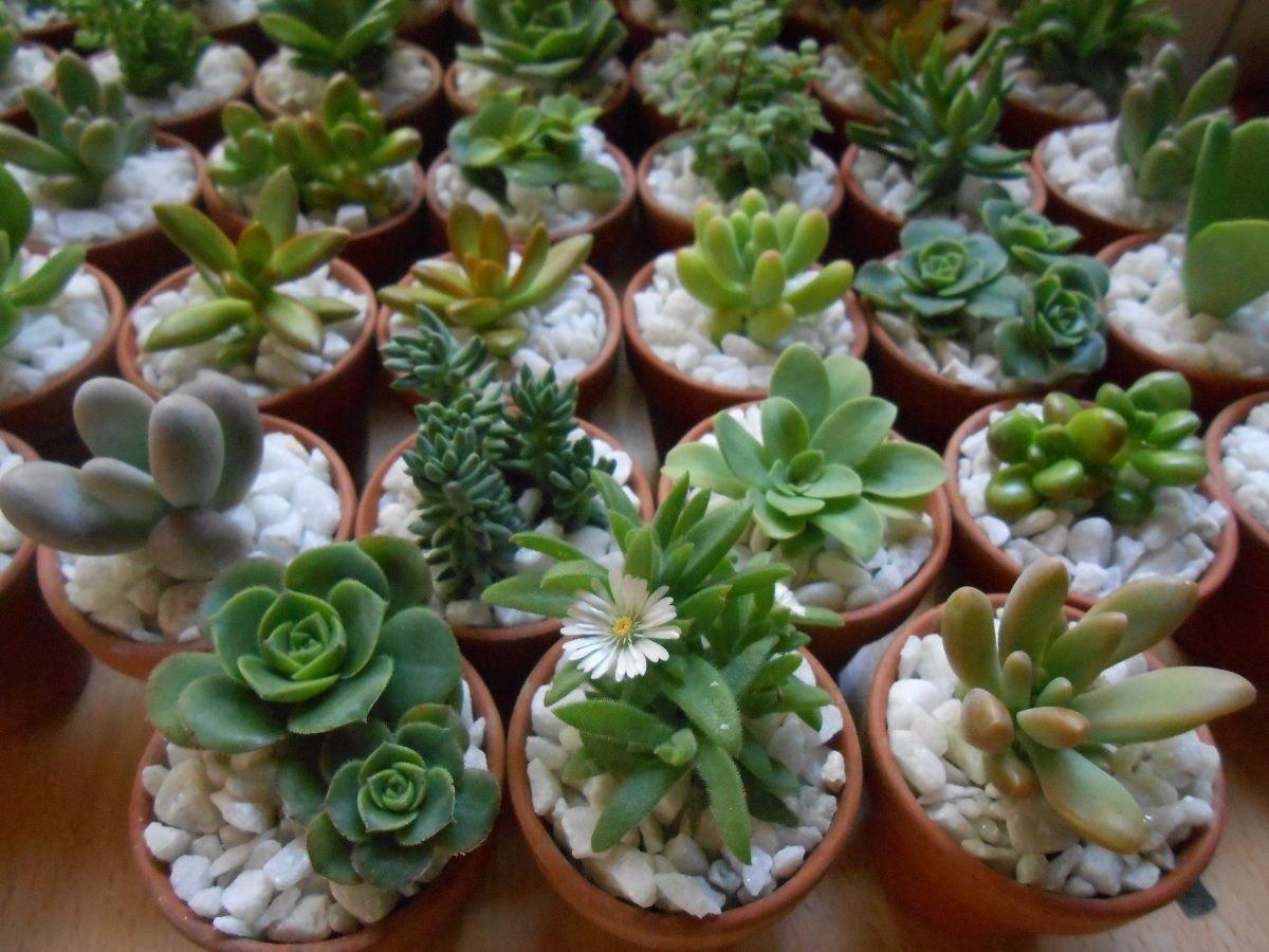 Plantas suculentas miniatura decoradas en for Decoracion con plantas miniatura