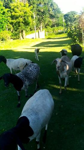 plantel de carneiros