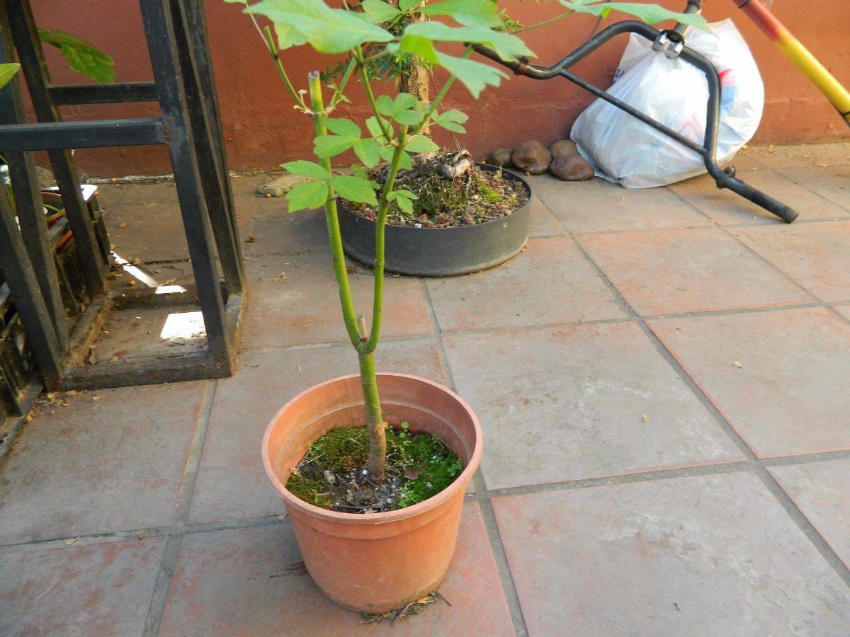 Plantin Prebonsai De Acer Negundo 11000 En Mercado Libre