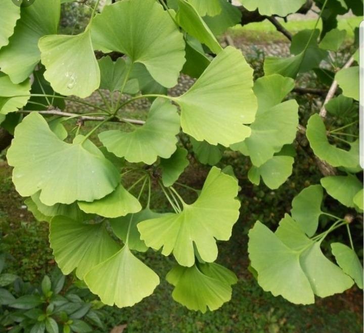 Plantines de Ginkgo Biloba - $ 350.00 en Mercado Libre