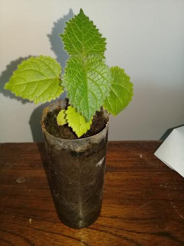 plantines de kiri. paulownia