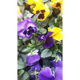 Plantines De Pensamiento Viverocasita Cajon X 10 Plantines
