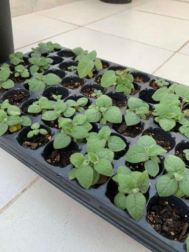 plantulas de lulo