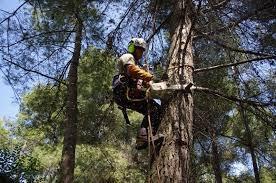 poda corte de altura sacado de raíces limpieza  de palmeras
