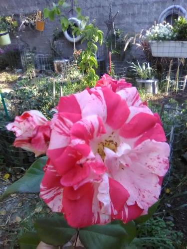 poda de rosales. mantenimiento de jardines