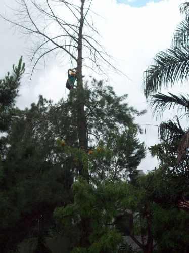 poda  limpieza y extracion de alto riesgo arboles y palmeras