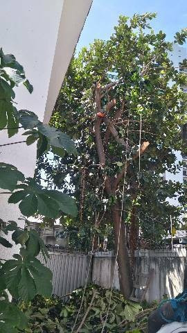podaçao corte de árvores e coqueiro