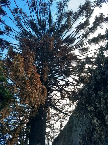 podas altura arboles, palmeras, enredaderas cercos. sanidad