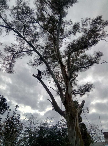 podas  en altura extracciónes tala podas de palmeras