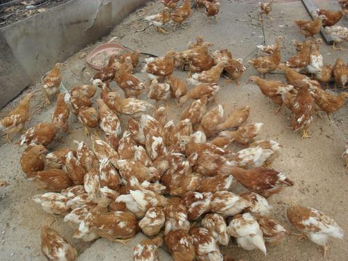 pollas coloradas ponedoras 65 pesos
