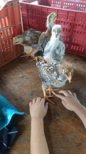 pollas criollas ponedoras y pollos criollos 4 semanas: promo