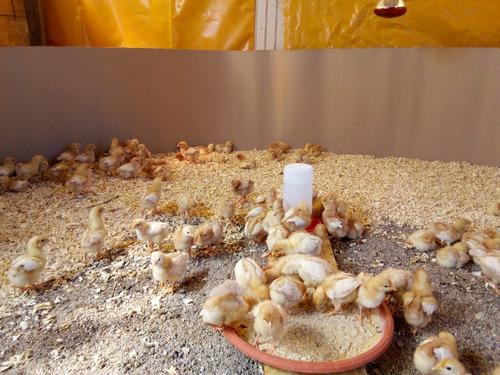 pollas gallinas ponedoras café 6 semanas