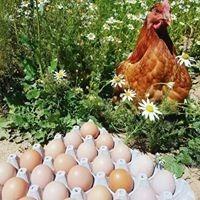 pollas y gallinas ponedoras hy line brown